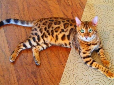 Do Bengal Cats Shed by Bengal Cat Bengals Result From Crossing A Domestic Feline With An Leopard Cat Favorite