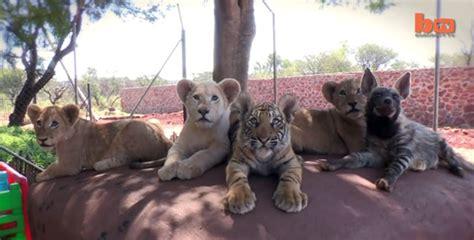 imagenes de tigres y leones juntos un grupo de amigos formado por cachorros de hienas leones