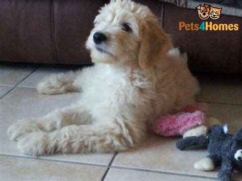 goldendoodle puppy health f1 goldendoodle puppies health tested parents spilsby