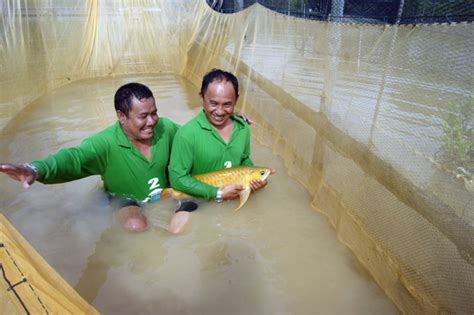 Harga Bibit Ikan Arwana Golden kini arwana di sungai ketungau sulit dicari apa