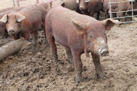 breeds for pig breeds for images