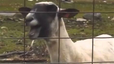 adele ft goat taylor swift i knew you were trouble ft screaming goat