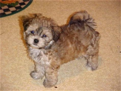 shih tzu poodle mix haircut shih poo shih tzu poodle mix facts temperament diet puppies pictures