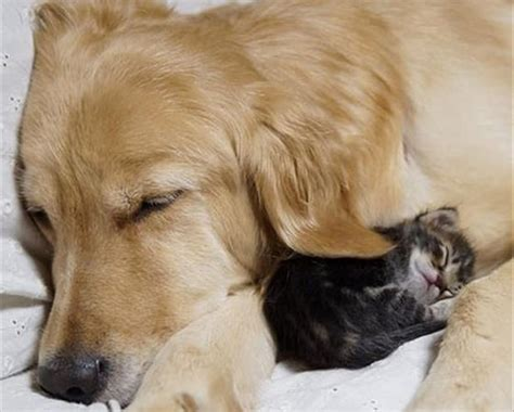 cat and golden retriever kitten adopted by golden retriever