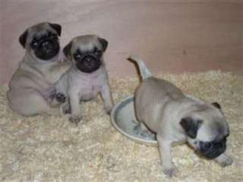 pugs montreal chiots carlin pug 224 donner achat vente animaux montr 233 al le grand garage