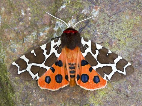 Garden Tiger Moth by The Garden Tiger Moth Identification Best Times To See