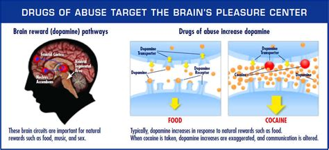 Does Heroin Detox Work by Drugs And The Brain National Institute On Abuse Nida