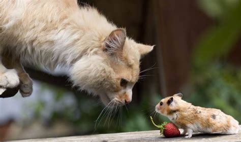 cat rat wallpaper cat and mouse wallpaper and background 1600x946 id 699164