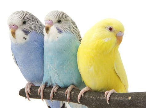 69 best images about parakeet pet bird health care