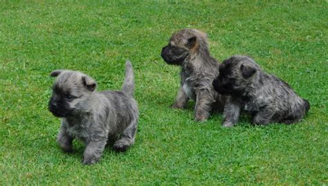 cairn terrier puppy 3 cairn terrier puppies staffordshire pets4homes