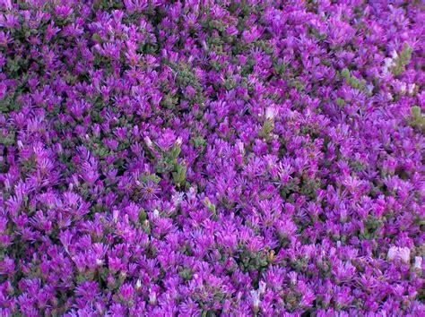 tappeto fiorito il tappeto fiorito foto immagini macro e up