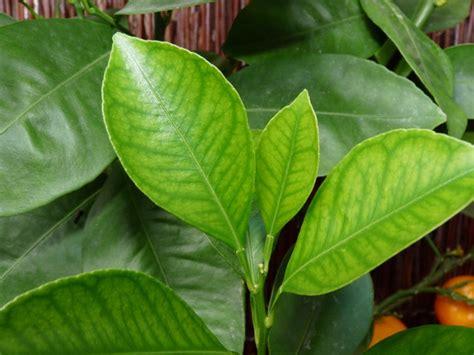 Schädlinge Bei Zimmerpflanzen 3884 by Zitruspflanzen Krankheiten Und Sch 228 Dlinge