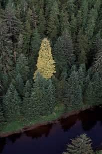 kayak yak the golden spruce