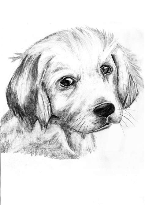 golden retriever sketch how to draw golden retrievers