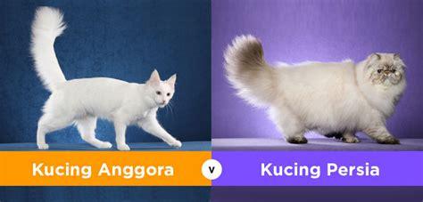 Sho Khusus Kucing Anggora apa perbedaan kucing anggora dan
