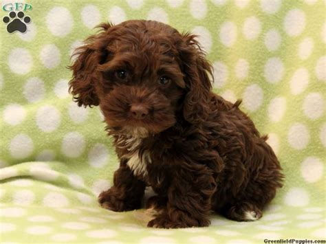 cockapoo puppies for sale in brown cockapoo puppies for sale search ideas for the house