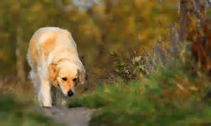Of animals golden retriever the temperament of the golden retriever