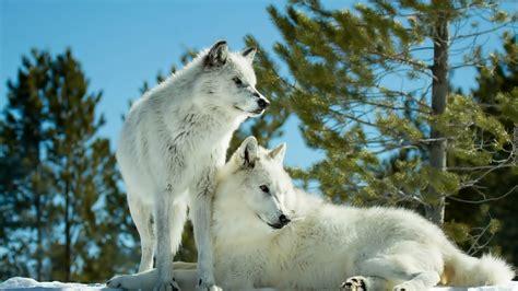 imagenes full hd de lobos dwa białe wilki drzewa