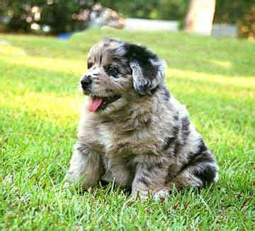 aussie golden retriever mix puppies australian retriever australian shepherd golden retriever mix info pictures