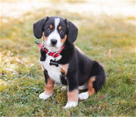 Entlebucher Mountain Shedding by Entlebucher Mountain Smallest Of Four Swiss