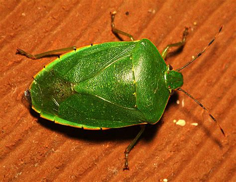 flying bed bugs green flying bug carspart