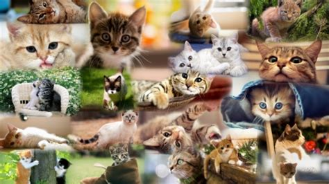 cat wallpaper collage cat collage cats animals background wallpapers on