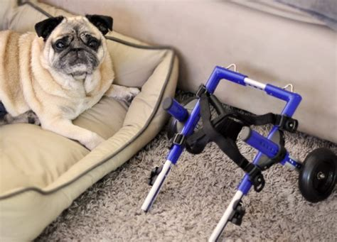 pug in a wheelchair bebop the pug and his new wheelchair pug o rama