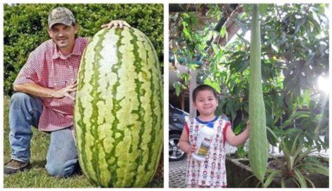 wow besarnya ukuran buah  sayur   cukup
