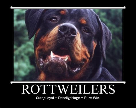 largest rottweiler in the world pin rottweiler in the world image search results on