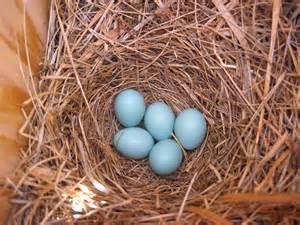 bluebird eggs color may 2013 mountain