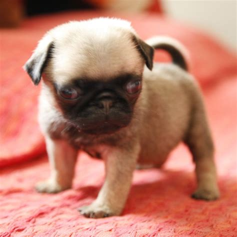 pug b 18 best images about pugs sooooo on discover best ideas about
