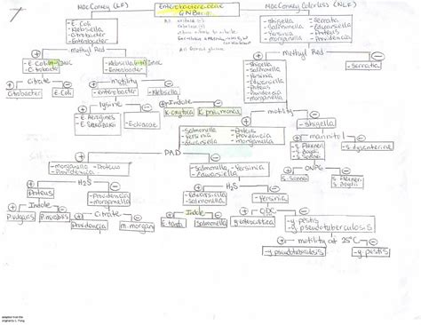 gram negative identification flowchart identification of gram negative bacteria flowchart 28