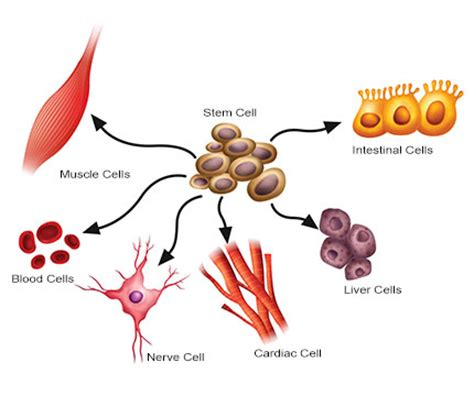 specialised cells lessons tes teach