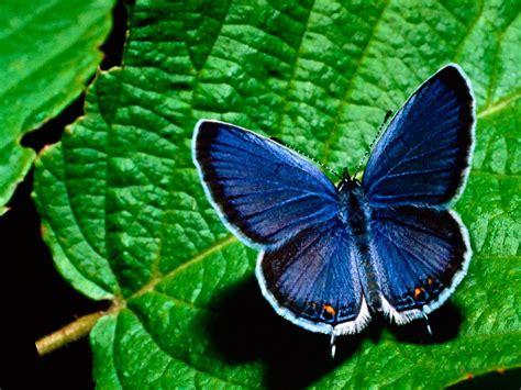 flores azules claras mariposa imagenes de archivo imagen 2050474 image gallery mariposas azules