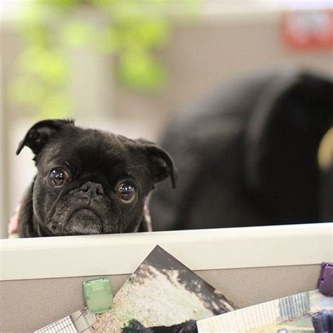 pug to work 17 best images about it s a pug on pug pug and happy