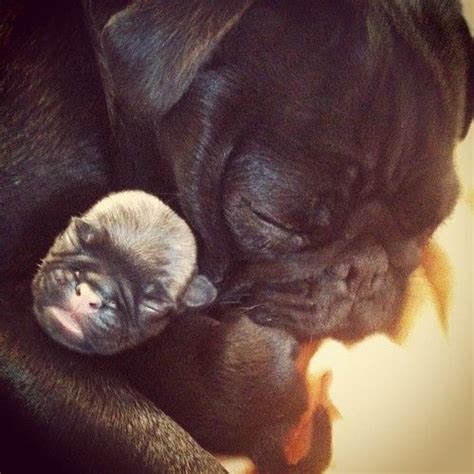 monkey baby pug 765 best images about my black pug and friends on puppys