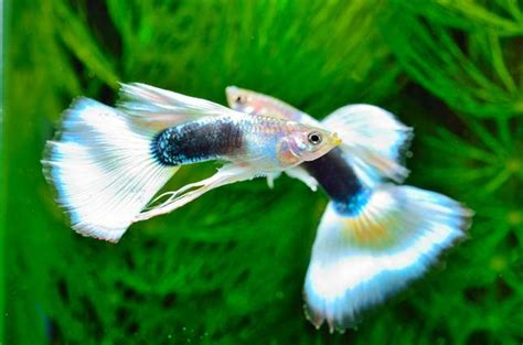 Desk Best Buy 5 Reasons Why Guppies Are The Perfect Pet Mnn Mother