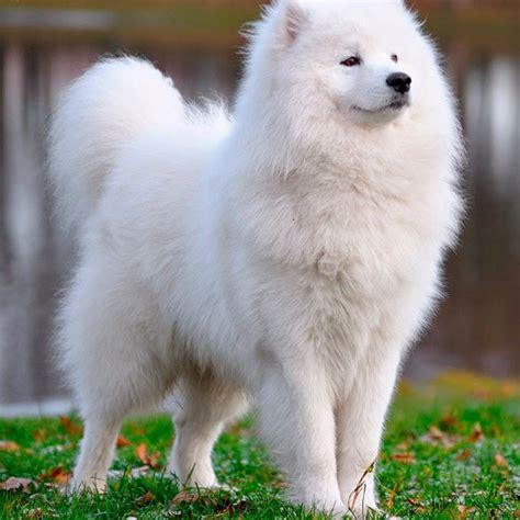 samoyed colors samoyedo tu cachorro ideal