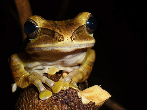 pohon wikipedia bahasa indonesia ensiklopedia bebas katak pohon bergaris wikipedia bahasa indonesia