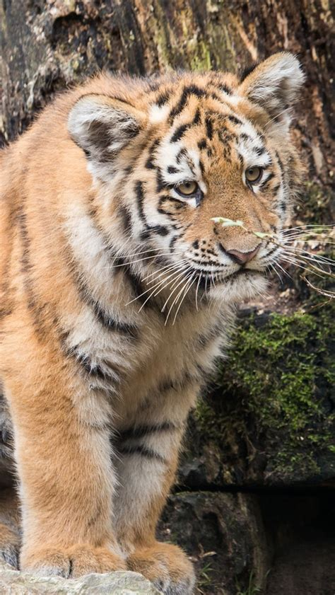wallpaper cute amur tiger baby  uhd  picture image