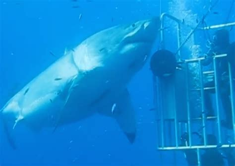what is the largest great white shark ever recorded primer moptu nickellush largest great white shark ever