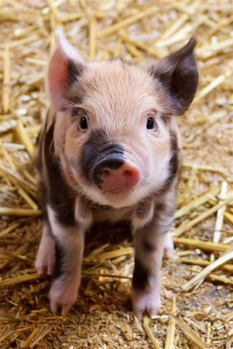 Goat Home Decor by Cute Baby Pigs Baby Pig Tumblrlittle Pigs Animal Baby