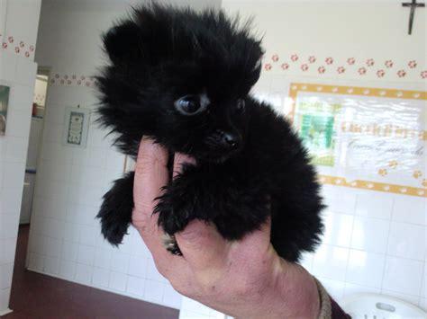 X2 Piccola Piccoli 1 adozione cuccioli di razza hairstylegalleries