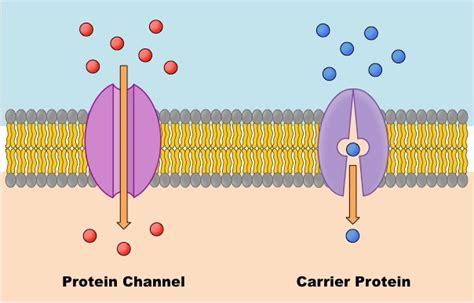 2 proteins in facilitated diffusion facilitated diffusion diagram www pixshark images