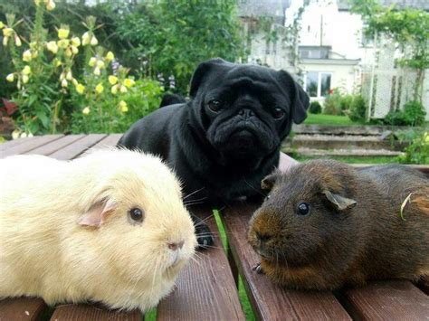 why do pugs so much pugs n pigs guinea pigs and dr who