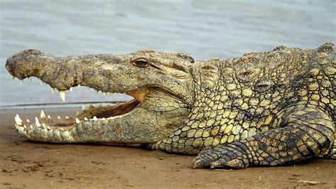 wallpaper krokodil krokodil achtergronden hd wallpapers