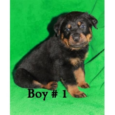 free rottweiler puppies in indiana rottweiler puppies and dogs for sale and adoption page 1 freedoglistings