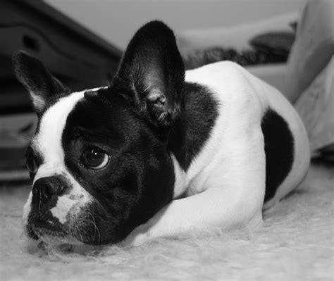 bull frances bulldog frances blanco y negro