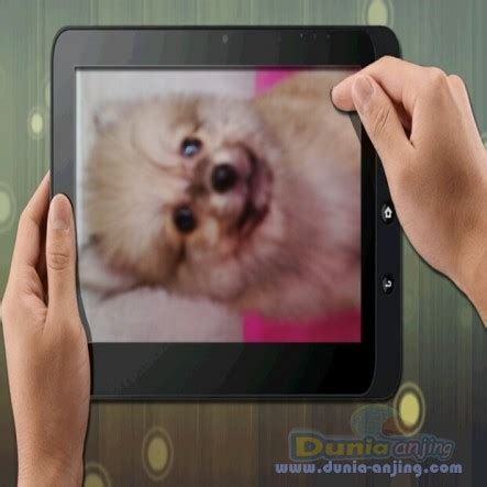 Jual Jual Puppies Minipom Kaskus dunia anjing jual anjing pomeranian puppies minipom