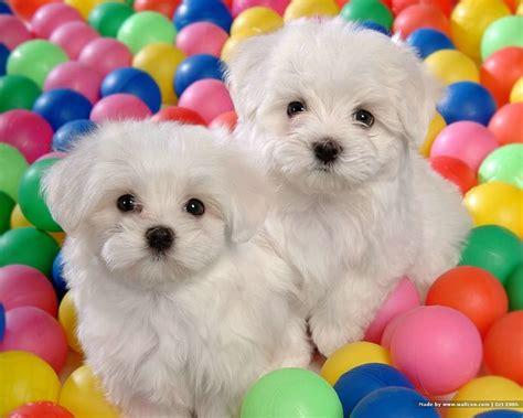 white maltese puppy 1600 1200 white maltese puppy maltese maltese puppies wallpaper 6 wallcoo net